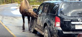 Don't be concerned about a car-licking moose in Canada